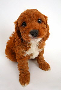 Cavapoo puppy, Cavalier King Charles Spaniel x Poodle, age 6 weeks, sitting and looking up.  -  Mark Taylor