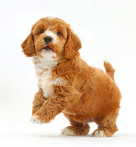 Cockapoo, Cocker spaniel cross Poodle puppy on hind legs.  -  Mark Taylor