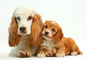 Cocker spaniel bitch resting with Cockapoo puppy. - Mark Taylor