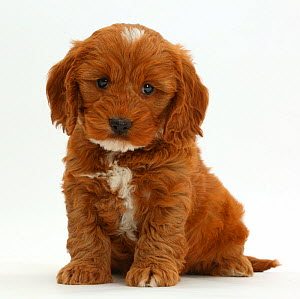 Cockapoo, Cocker spaniel cross Poodle puppy sitting.  -  Mark Taylor