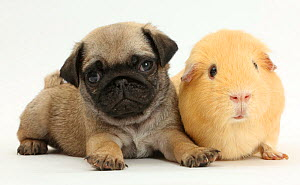 Pug puppy with yellow Guinea pig. NOT AVAILABLE FOR BOOK USE  -  Mark Taylor