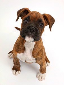 Brindle Boxer puppy sitting looking up.  -  Mark Taylor
