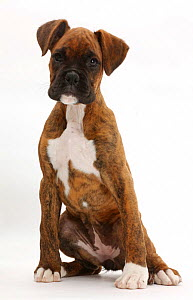Brindle boxer puppy sitting.  -  Mark Taylor
