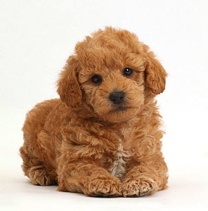 Toy goldendoodle (F1b) golden retriever cross toy Poodle puppy.  -  Mark Taylor