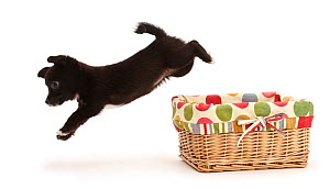 Chihuahua cross Jack Russell puppy leaping out of basket. - Mark Taylor