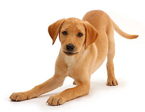 Yellow Labrador puppy, age 11 weeks in play bow.  -  Mark Taylor