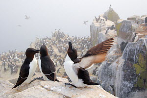 Razorbills (Alca torda) group of three on cliff face, Farne Islands, Northumberland, England, UK, June. - Andres M. Dominguez