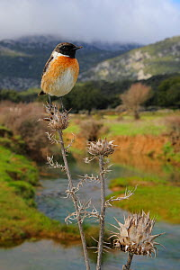 European stonechat (Saxicola rubicola) male perched with mountainous habitat behind, Sierra de Grazalema Natural Park, southern Spain, February.  -  Andres M. Dominguez