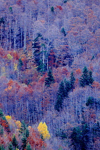 Bare trees and conifers in woodland, Ordesa y Monte Perdido National Park, Huesca, Spain, October. - Andres M. Dominguez