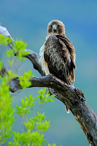 Booted eagle (Hieraaetus pennatus) perched, Sierra de Grazalema Natural Park, southern Spain, July.  -  Andres M. Dominguez