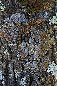 Common wall gecko / Moorish gecko (Tarentola mauritanica) camouflaged on lichen covered tree trunk, Sierra de Andujar Natural Park, Jaen, Spain, March.  -  Andres M. Dominguez
