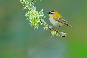 Firecrest (Regulus ignicapilla) perched on lichen covered branch, Sierra de Grazalema Natural Park,  southern Spain, May. - Andres M. Dominguez