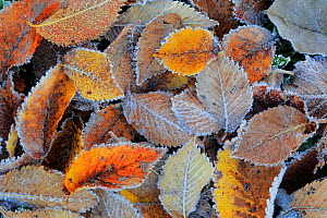 Field elm (Ulmus minor) leaf litter covered in frost in winter, Sierra de Grazalema Natural Park, southern Spain, November. - Andres M. Dominguez
