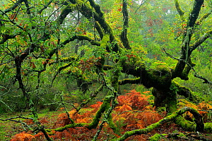 Portuguese oak tree (Quercus faginea) covered in moss, Los Alcornocales Natural Park, southern Spain, November.  -  Andres M. Dominguez