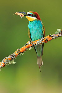 Bee-eater (Merops apiaster), Sierra de Grazalema Natural Park, southern Spain, July. - Andres M. Dominguez