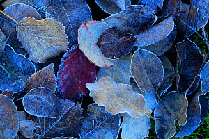 Frost covered leaves in winter, Sierra de Grazalema Natural Park, southern Spain, February. - Andres M. Dominguez