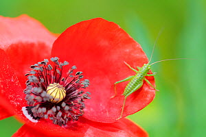 Great green bush-cricket (Tettigonia viridissima) and Common poppy (Papaver rhoeas) Sierra de Grazalema Natural Park, southern Spain, April. - Andres M. Dominguez