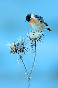 Common stonechat (Saxicola torquata) on frosty flower head in winter,  Sierra de Grazalema Natural Park, southern Spain, January.  -  Andres M. Dominguez