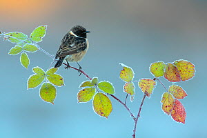 Common stonechat (Saxicola torquata) perched on bramble, Sierra de Grazalema Natural Park, southern Spain, November. - Andres M. Dominguez