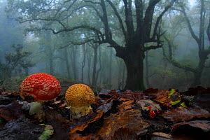 Fly agaric (Amanita muscaria) in foggy forest, Los Alcornocales Natural Park,  southern Spain, January.  -  Andres M. Dominguez