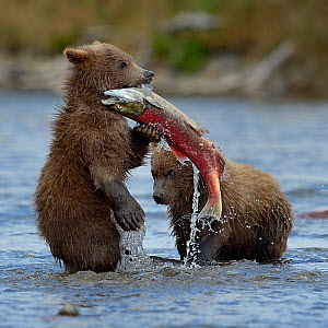 Grizzly bear (Ursus arctos horribilis) cubs with salmon,   Katmai National Park, Alaska, August. Small reproduction only. - Loic  Poidevin