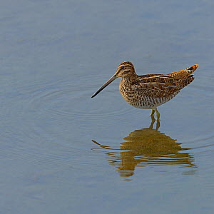 Common snipe (Gallinago gallinago) in water, Anchorage, Alaska, USA, August - Loic  Poidevin