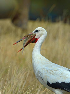 White stork (Ciconia ciconia) feeding on  Common bream (Abramis brama) Vendee, France, July - Loic  Poidevin