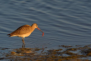 Bar tailed godwit (Limosa lapponica) at water's edge with prey, Nome, Alaska, USA, September  -  Loic  Poidevin