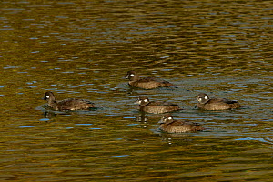 Harlequin duck (Histrionicus histrionicus) group in water, Nome, Alaska, USA, September  -  Loic  Poidevin