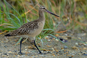 Bar tailed godwit (Limosa lapponica) on a beach, Nome, Alaska, USA, August  -  Loic  Poidevin