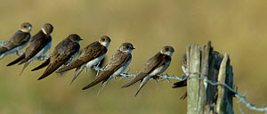 Sand martins (Riparia riparia) group of six on barbed wire, Vendee, France, July - Loic  Poidevin