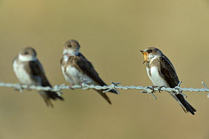 Sand martins (Riparia riparia) group of three on barbed wire, Vendee, France, July - Loic  Poidevin