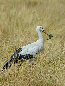 White stork (Ciconia ciconia) eating Black bullhead  (Ameiurus melas) Vendee, France, July  -  Loic  Poidevin
