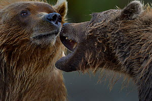 Grizzly bears (Ursus arctos horribilis) fighting, Katamai, Alaska, USA, August - Loic  Poidevin
