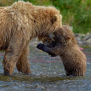 Grizzly bear (Ursus arctos horribilis) cub playing with mother, Katmai National Park, Alaska, USA, August - Loic  Poidevin