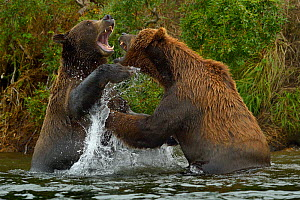 Grizzly bears (Ursus arctos horribilis) fighting in water, Katmai National Park, Alaska, August  -  Loic  Poidevin