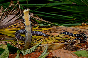 King cobra (Ophiophagus hannah) juvenile in threat pose,  captive occurs in South Asia. Venomous species.  -  Daniel  Heuclin