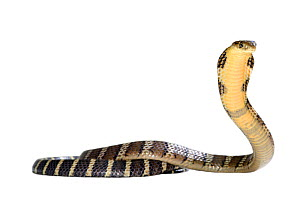 King cobra (Ophiophagus hannah) juvenile in threat pose on white background, captive occurs in South Asia. Venomous species.  -  Daniel  Heuclin