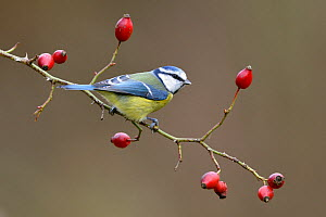 Blue tit (Parus caeruleus) perched on Dog rose branch (Rosa canina) in winter. Lorraine,  France. December.  -  Michel  Poinsignon