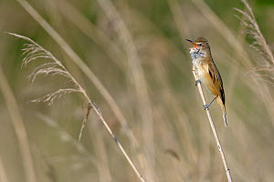 Great reed warbler (Acrocephalus arundinaceus) singing amongst reeds, Remerschen, Luxembourg, May - Michel  Poinsignon