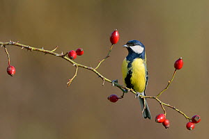 Great tit (Parus major) perched on Dog rose branch (Rosa canina) with rosehips in winter. Lorraine. France. December.  -  Michel  Poinsignon