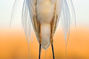 Great white egret (Egretta alba) detail of plumage and legs from the front, Pusztaszer, Hungary, April - Michel  Poinsignon
