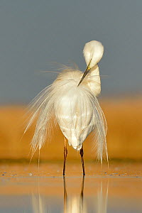 Great white egret (Egretta alba) preening feathers, Pusztaszer, Hungary, April - Michel  Poinsignon