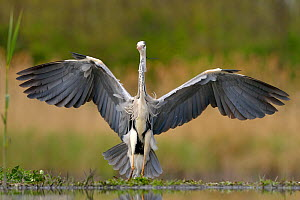 Grey heron (Ardea cinerea)  landing on lake, Pusztaszer, Hungary, April - Michel  Poinsignon
