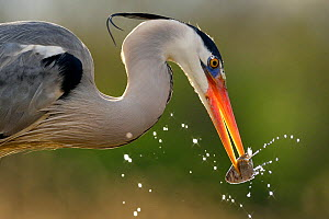 Grey heron (Ardea cinerea) catching fish in lake, Pusztaszer, Hungary, April  -  Michel  Poinsignon