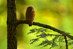 Eurasian pygmy Owl (Glaucidium passerinum) perched on conifer branch, Vosges Mountains, France, June.  -  Michel  Poinsignon
