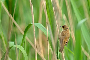Reed warbler (Acrocephalus scirpaceus) adult perched in reedbed, Remerschen, Luxembourg, May - Michel  Poinsignon