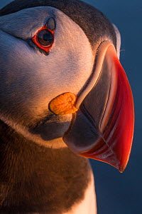 Puffin (Fratercula arctica) portrait, Iceland, June.  -  Pal Hermansen