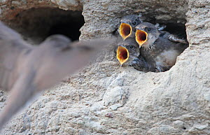 Sand martins (Riparia riparia) chicks calling, begging for food,  in nest, Norway, July. - Pal Hermansen