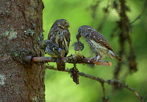 Two Eurasian pygmy owls (Glaucidium passerinum) with song bird chick prey, Hedmark County, Norway, June.  -  Pal Hermansen